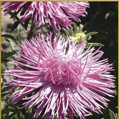 Семена Астра Идеал розовая 0,1 г W.Legutko 5011