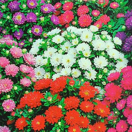 Семена Астра Пиноккио смесь 0,5 г W.Legutko 5016, фото 2