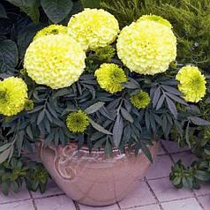 Семена Бархатцы Антигуа кремово-желтые F1 10 сем Cerny 5027
