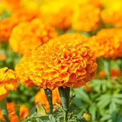 Семена Бархатцы Антигуа оранжевые F1 10 сем Cerny 5028