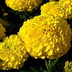 Семена Бархатцы Дискавери желтые F1 10 сем Cerny 5030