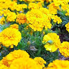 Семена Бархатцы Желтый малыш 0,5 г W.Legutko 5031
