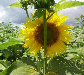 Семена гибрида подсолнечника Антей+ экстра, гранстар устойчивый