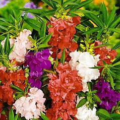 Семена Бальзамин садовый Камелия 0,5 г W.Legutko 5039