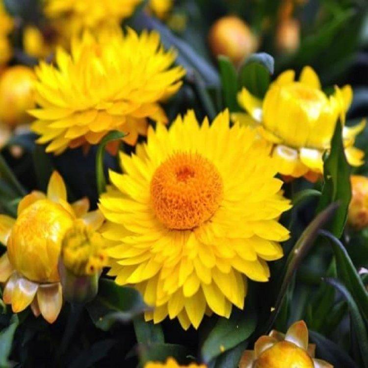 Семена Бессмертник лимонно-желтый 0,2 г W.Legutko 5042