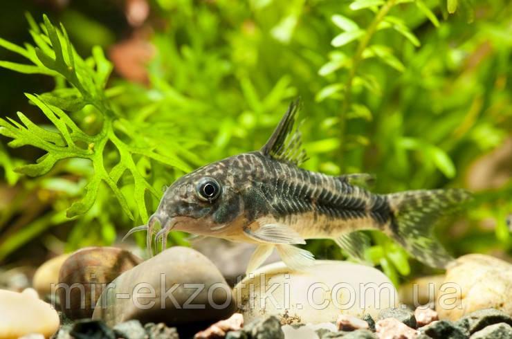 Сомик Коридорас Крапчатый  (Corydoras paleatus)