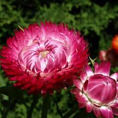 Семена Бессмертник насыщенно-красный 0,2 г W.Legutko 5942