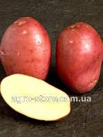 Картофель сорт Рудольф сетка 3кг. 1 репродукция., фото 1
