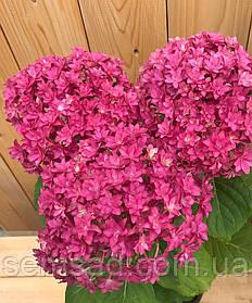 Гортензия крупнолистная Тугезе Пинк  \ Hydrangea macrophylla Together Pink ( саженцы  )