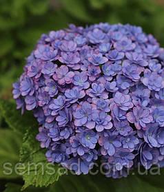 Гортензия крупнолистная Тугезе Блю \ Hydrangea macrophylla Together Blue ( саженцы )
