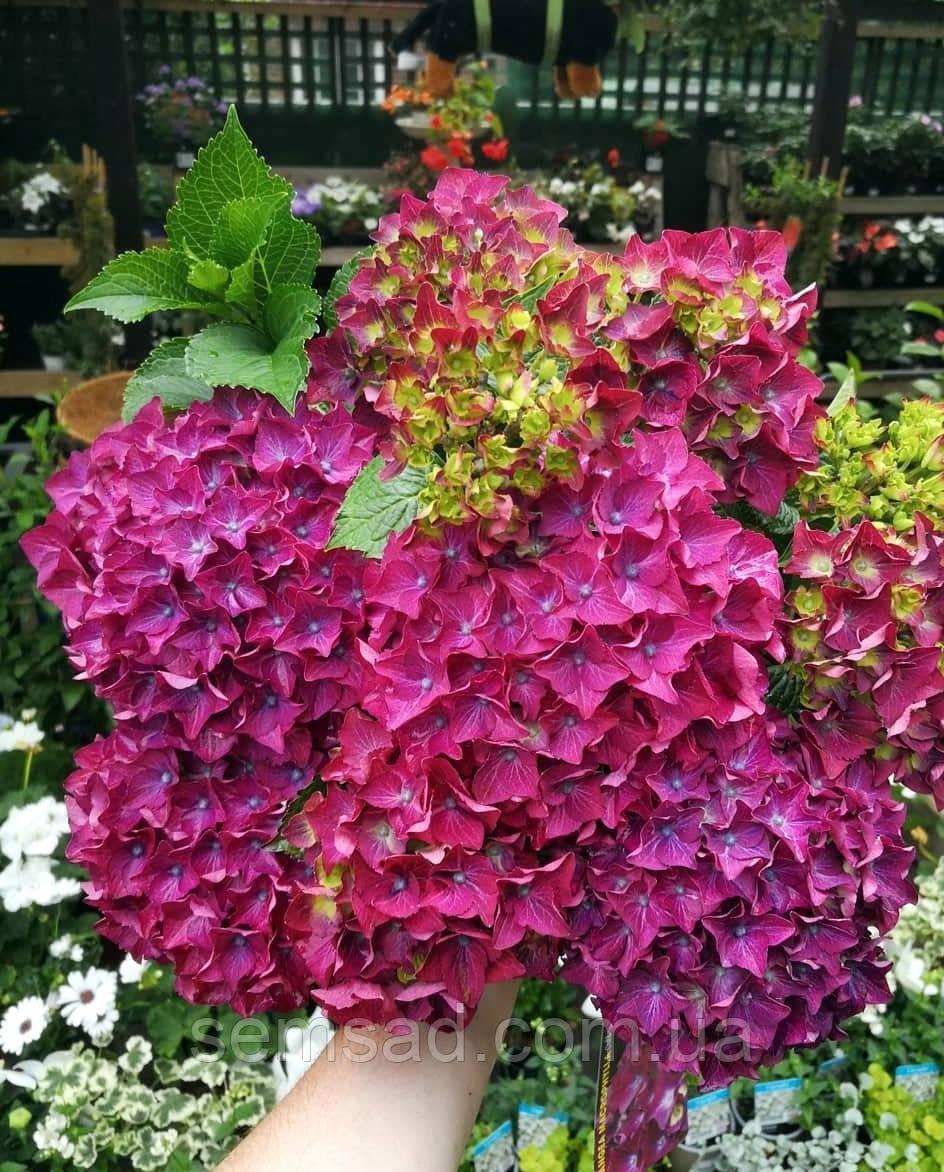 """Гортензия крупнолистная"""" Ред Бьюти Лила"""" \ Hydrangea macrophylla Red Beauty Lila ( саженцы)"""