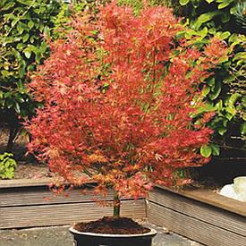 Клен пальмолистний Wilson's Pink Dwarf 2 річний, Клен пальмолистный Вилсон Пинк Дварф, Acer palmatum
