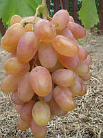 Саженцы винограда ( вегетирующие )