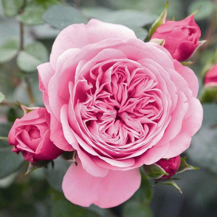 Роза плетистая Старлет Роуз Ева