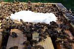Что такое канди для пчел и как его правильно давать пчелам