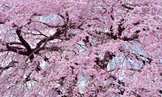 Фотообои Цветение сакуры потолок, стена  разные текстуры , индивидуальный размер