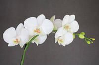 ЗД Фотообои Орхидеи  арт. 93422043