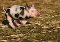 Роль протеина в кормлении сельскохозяйственных животных