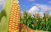 Кукурудза насіння Запорізький мішок 25 кг