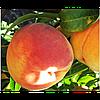 Саженец персика Канадиан Хармони (Canadian Harmony)