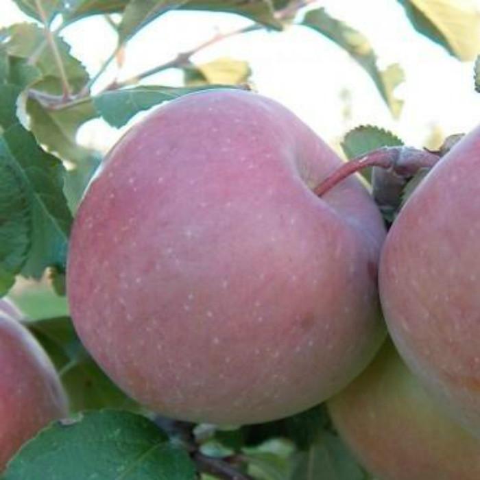 Яблуня Тоширо Фуджі ( О)