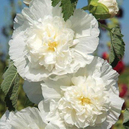 Семена Мальва Шатер белая 0,3 г W.Legutko 5092, фото 2