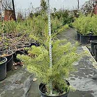 Ель сербская колоновидная (Picea omorika )