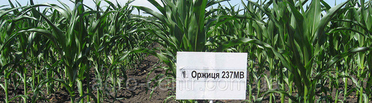 Семена кукурузы Оржиця 237 МВ
