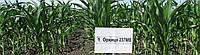 Семена кукурузы Оржиця 237 МВ, фото 1