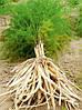 Шатавари корень порезанный мелкой соломкой 100 г