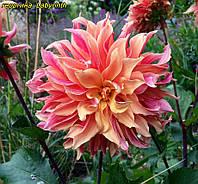 Георгина Labyrinth (Лабиринт) декоративная, крупноцветковая, фото 1