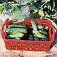 """Насіння огірка """"Гектор"""" F1 (20/50/100 насіння) від Nunhems, фото 2"""