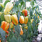 """Насіння перцю """"Барбі"""" F1 (10 насіння) від Syngenta, фото 3"""