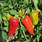"""Насіння перцю """"Любов"""" F1 (10 насіння) від Syngenta, фото 3"""