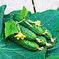 """Насіння огірка """"Спино"""" F1 (10 насіння) від Syngenta, фото 2"""