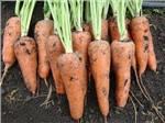 Морковь Шантанэ тип - Роял -  Agri Saaten