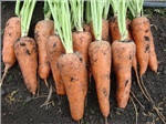 Морковь Шантанэ тип - Ред Кор -  Agri Saaten