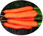 Морковь Нантэ тип - Стелла F1 -  Agri Saaten