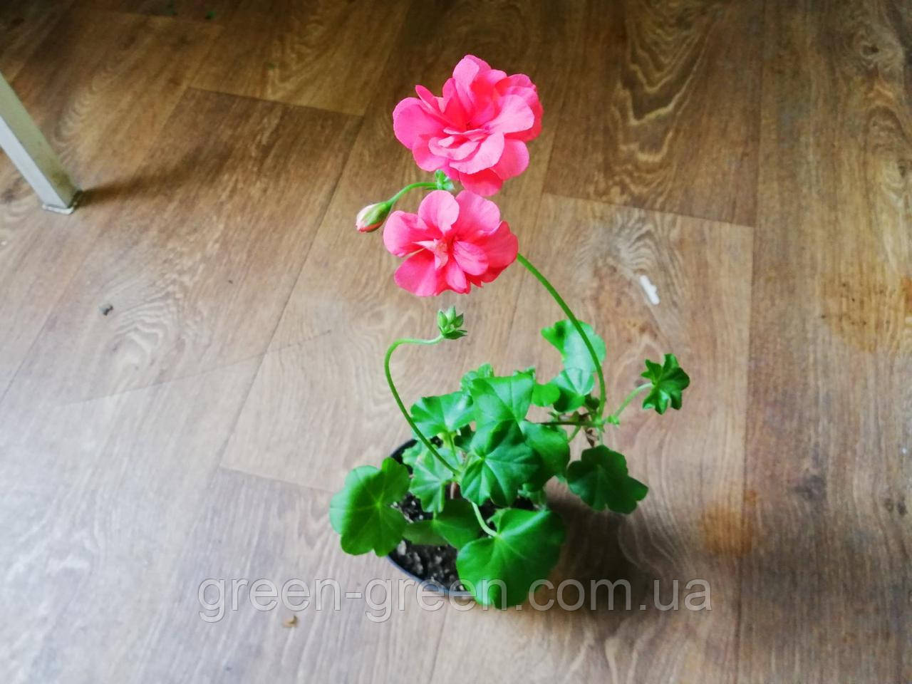 Пеларгония ампельная Pink Sybil