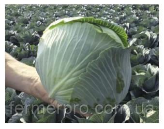 Семена капусты Конгама F1 1000 калиброванных семян Rijk zwaan