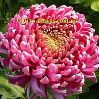 Хризантема крупноцветковая срезочная сиреневая БИСЛЕТ (Bislet Lilac)