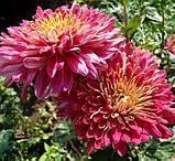 Корейська хризантема МАРГАРИТА НОВАРСКАЯ, фото 2