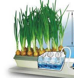 Цибулеве щастя - вазон для вирощування цибулі