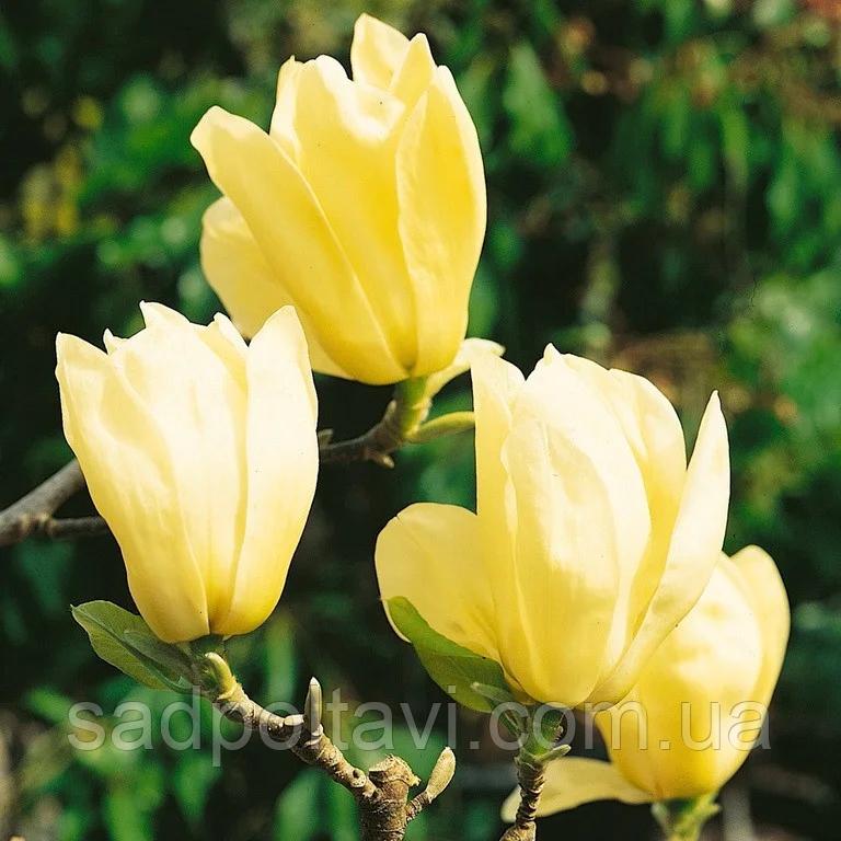 Магнолия Желтая птица /Yellow Bird/ в горшке 5л-h 1,5-2.3м