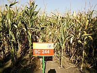 Кукурудза БЦ 244