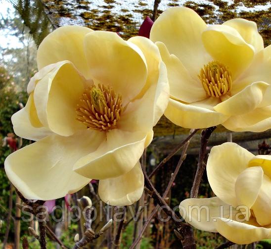 """Магнолия Медовый тюлип /Magnolia 'Honey Tulip""""/ в конт.50л-h1.5-2м"""
