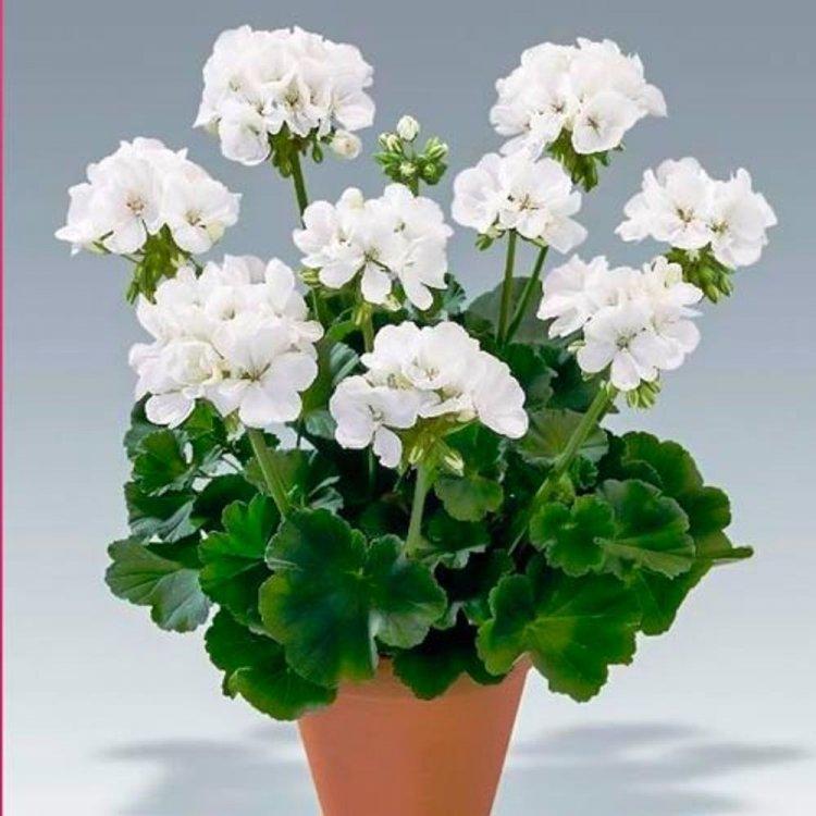 Семена Пеларгония Бланка F1 белая 5 сем Cerny 5113