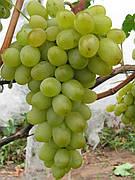 Новый подарок запорожья(грозди крупные,гармоничный вкус,-25)