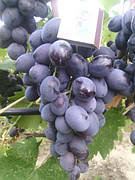 Саженцы винограда Фуршетный(средний срок,крупный,-22)