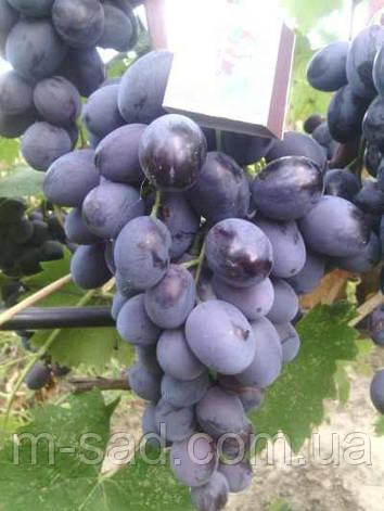Саженцы винограда Фуршетный(средний срок,крупный,-22), фото 2